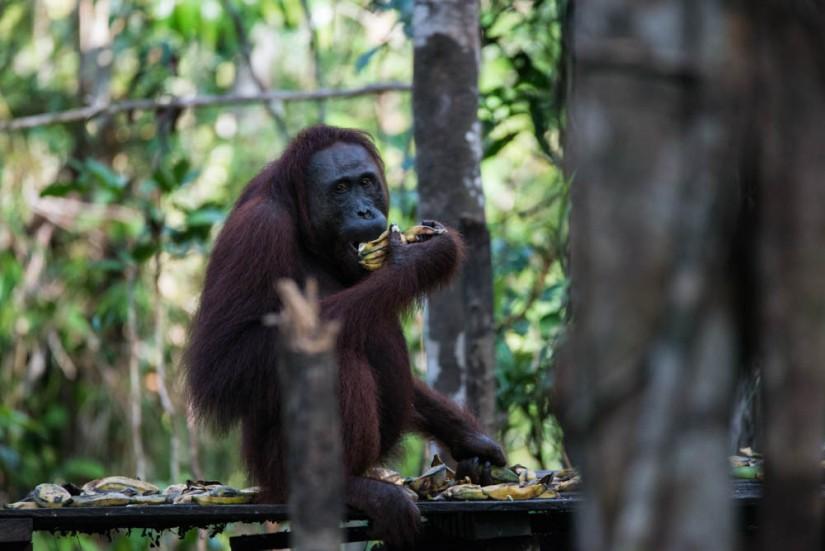 6 fakta seru tentang Orangutan Borneo -TanjungPuting